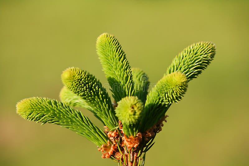 Spruce överkant royaltyfri foto