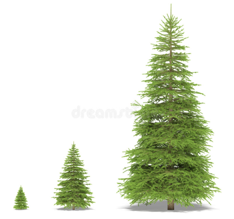 Download Spruce stock illustration. Image of isolated, medium - 13208039