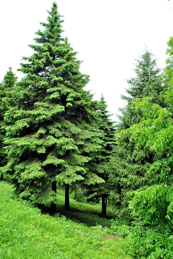 Free Spruce Stock Photography - 14668952