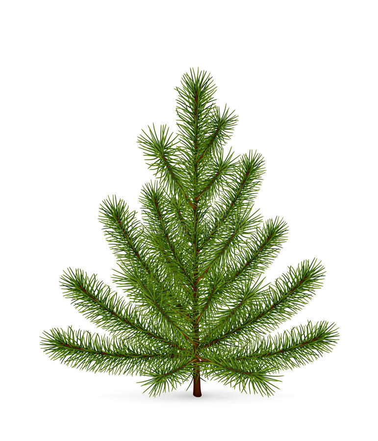 Download Spruce stock vector. Illustration of conifer, holiday - 21919270