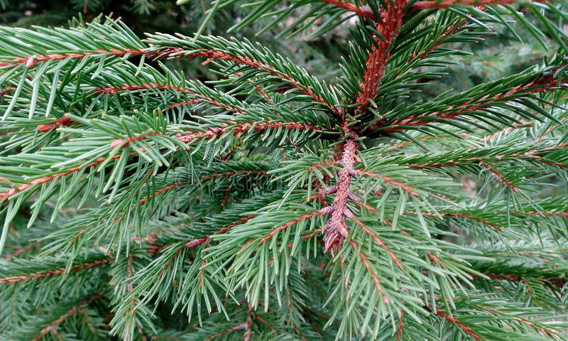 spruce royaltyfri foto