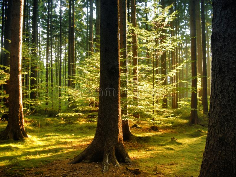 Spruce and beech trees in the forest at daylight, sunlight,sun, grass. Cuntryside landscape. Relaxing nature. Natural photo royalty free stock photography