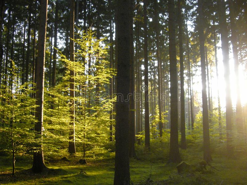 Spruce and beech trees in the forest at daylight, sunlight,sun, grass. Cuntryside landscape. Relaxing nature. Natural photo royalty free stock images