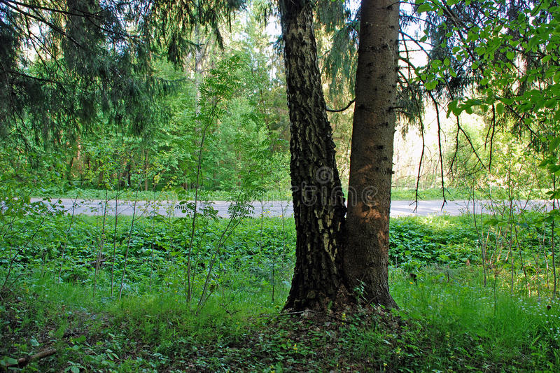Spruce and birch fused to the ground royalty free stock photography