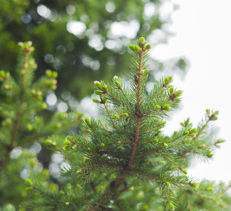 Spruce blooms stock photography