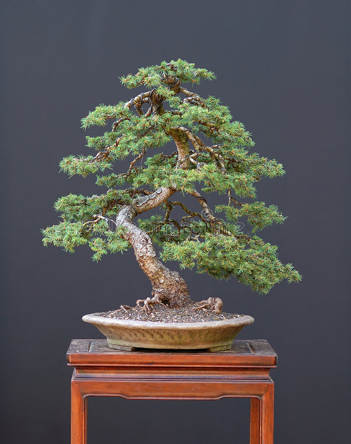 Download Spruce bonsai stock photo. Image of abies, tree, norway - 1684794
