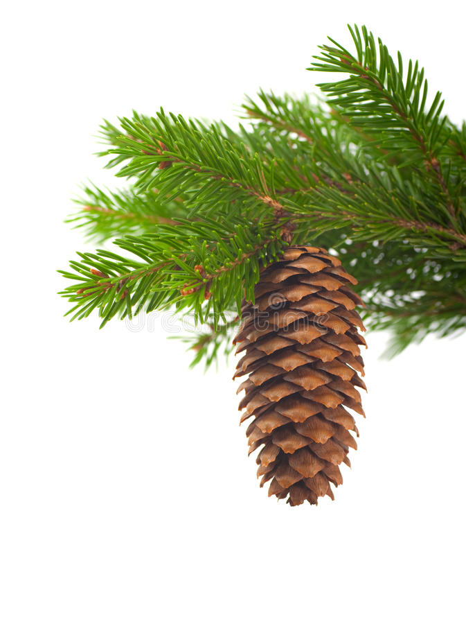 Download Spruce branch with cone stock photo. Image of background - 21878658