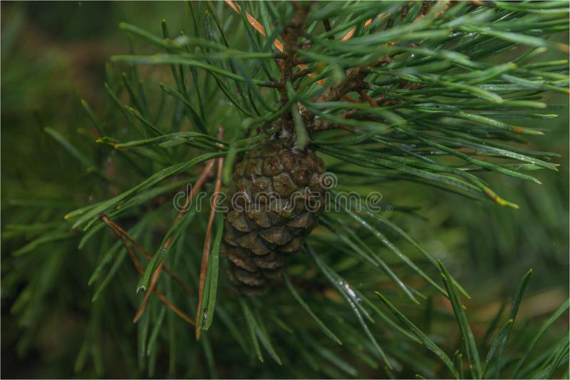 In anticipation of winter. Spruce branch with cone. the imminent arrival of winter and the holidays stock photos