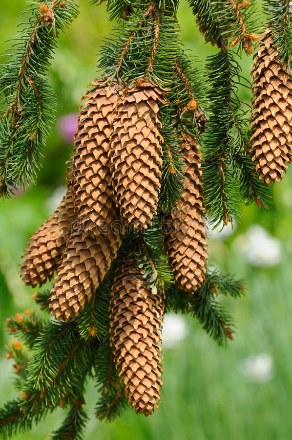 Download Spruce Branch with Cones stock photo. Image of coniferous - 25270356