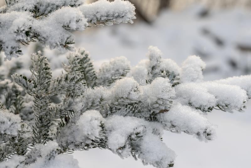 Spruce branch covered with snow Winter snow sunshine background royalty free stock photos
