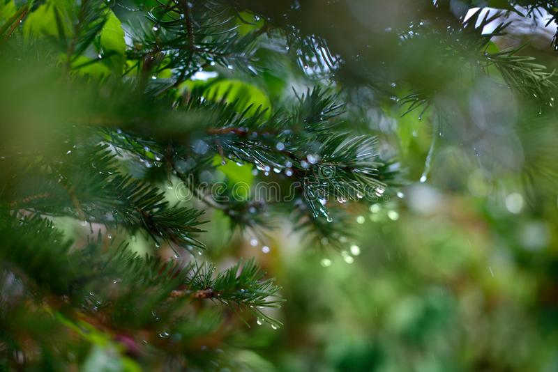Spruce branch with drops of dew, close up royalty free stock photo