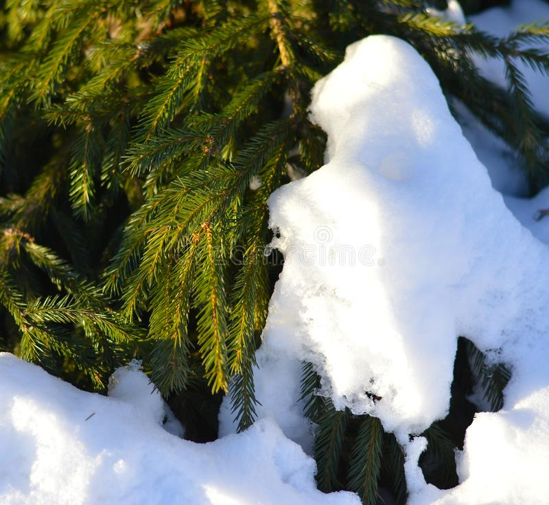 Spruce branches in the snow in winter frosty weather stock photos