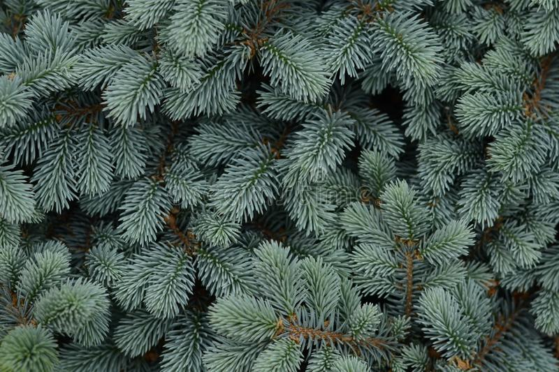 Spruce branches texture. Christmas tree. Spruce branches texture. Christmas tree royalty free stock photography