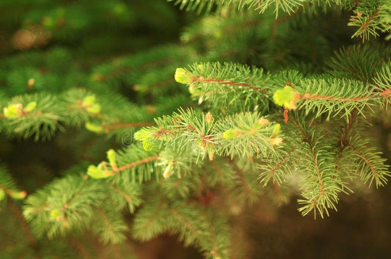 Spruce brunches close up background stock images