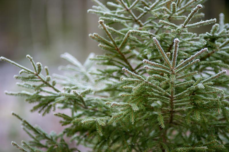 Download Spruce In A Cold And Frosty Forest Stock Image - Image of swedish, wilderness: 106814791