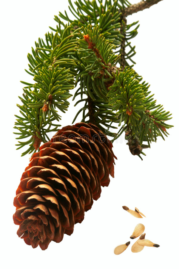 Free Spruce Cone Branch. Stock Photo - 4945000