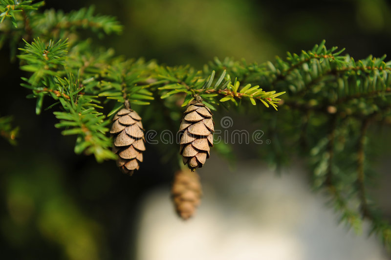 Download Spruce cones stock photo. Image of spruce, close, green - 7017408