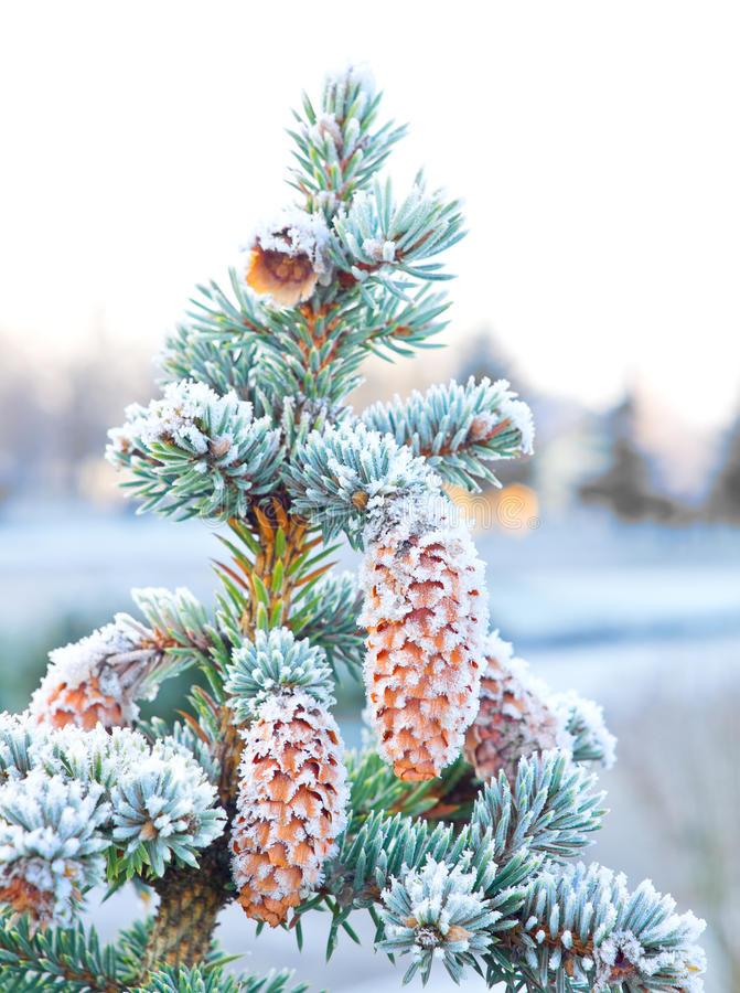 Spruce with cones. Covered frost royalty free stock photo