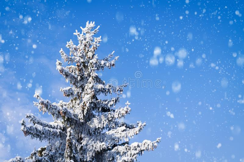Spruce with cones covered with snow on a background of blue sky and falling snow with copy space royalty free stock image