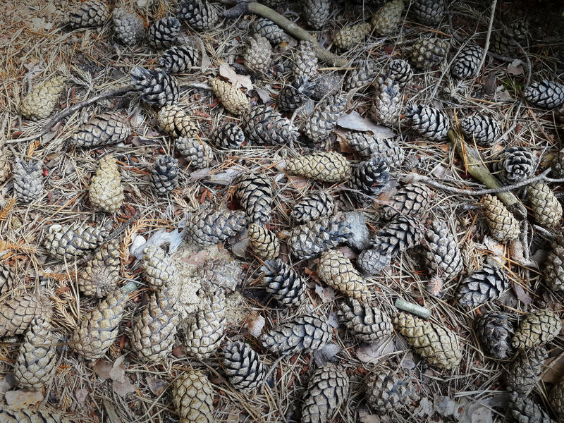 Spruce cones lie on the ground stock image