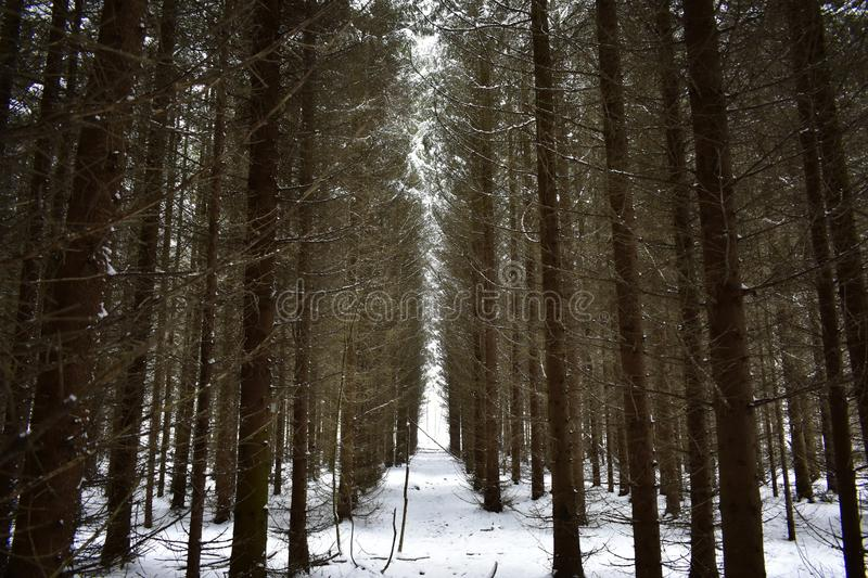 Spruce coniferous forest, path countryside lane road trees outdoors.  Individual trees have many clumsy arms and gnarled stock image