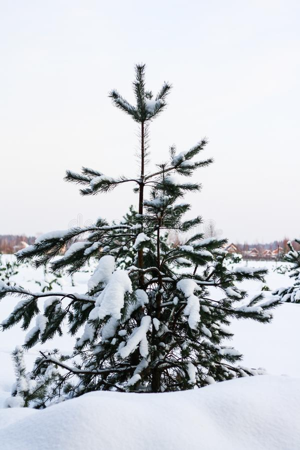 Spruce on the edge of winter forest royalty free stock photography