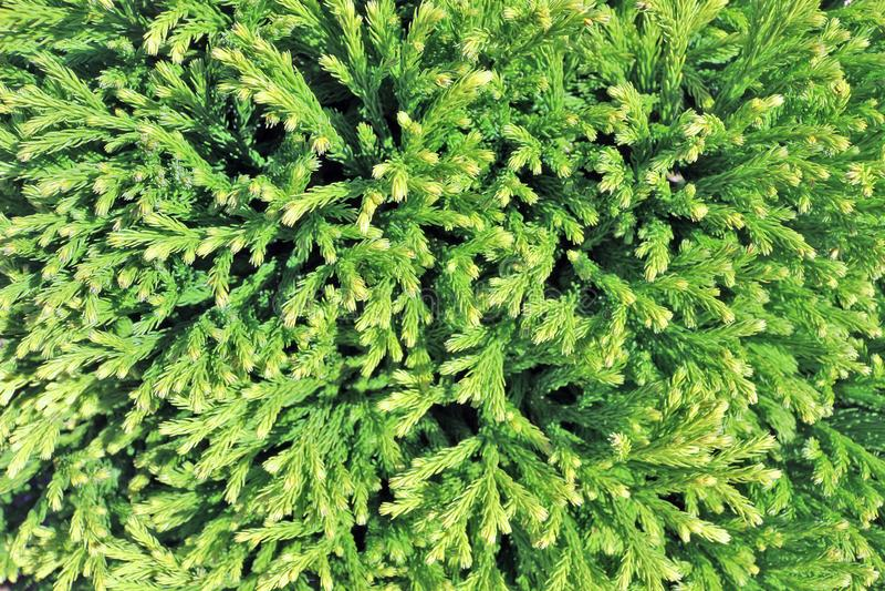 Spruce Foliage arkivfoto