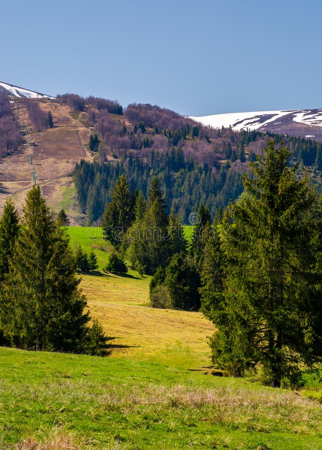 Spruce forest on the grassy hills in the valley royalty free stock photo