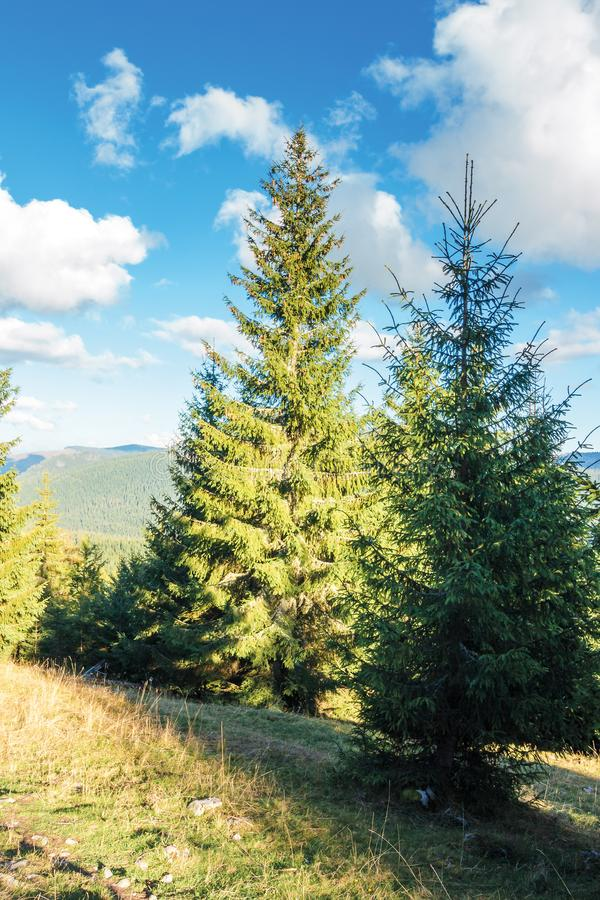 Spruce forest on the hill in afternoon royalty free stock photos