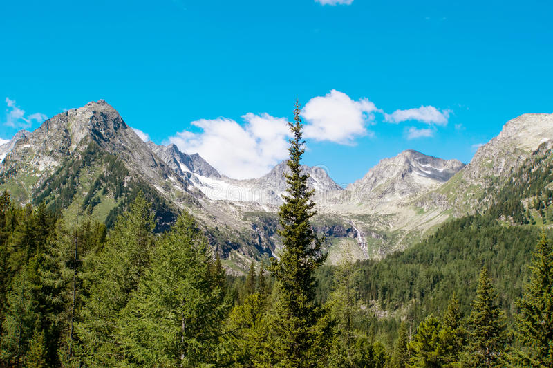 spruce forest on a hill side meadow in high mountains stock images