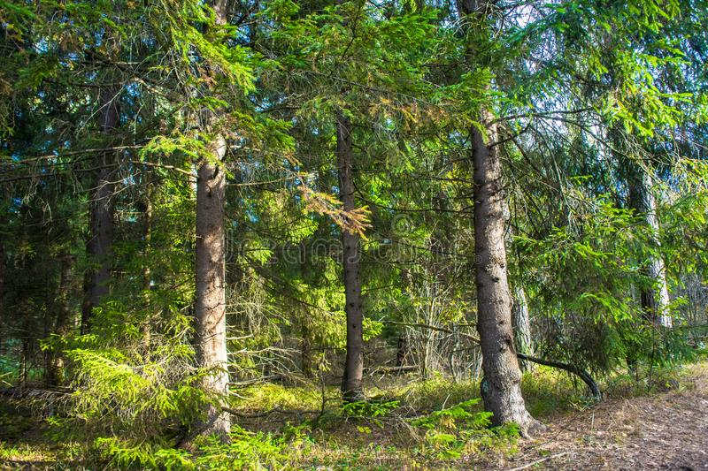 Spruce forest, illuminated by the rays of the evening autumn sun stock photography