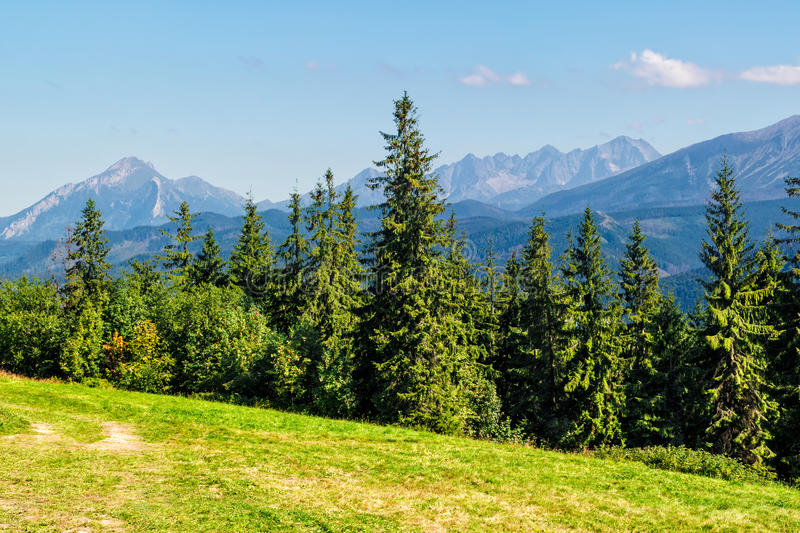 Spruce forest on a meadow in Tatras royalty free stock photos