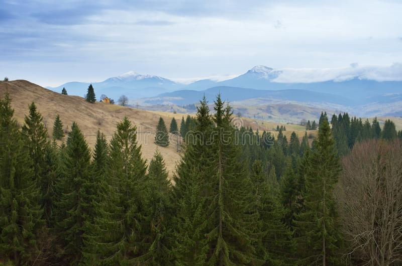 Spruce forest in the mountains stock image