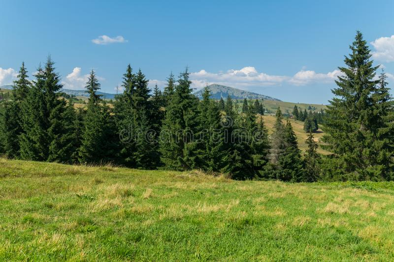 Spruce forest in a small ravine in the valley between the grassy hills royalty free stock image