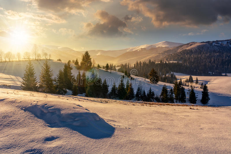 Spruce forest on snowy meadow in high mountains at sunset stock photos