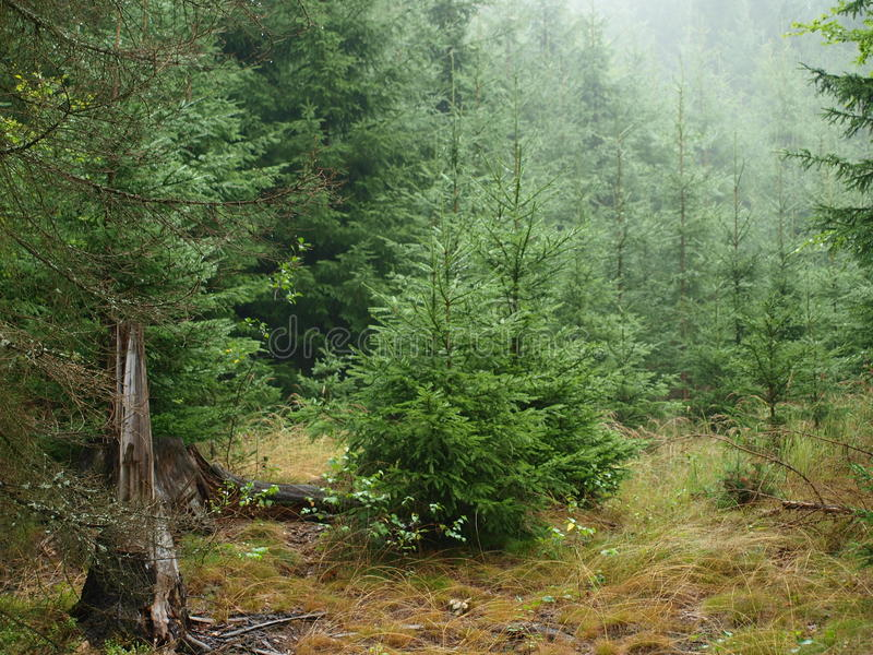Download Spruce forest in summer stock image. Image of forest - 33420067