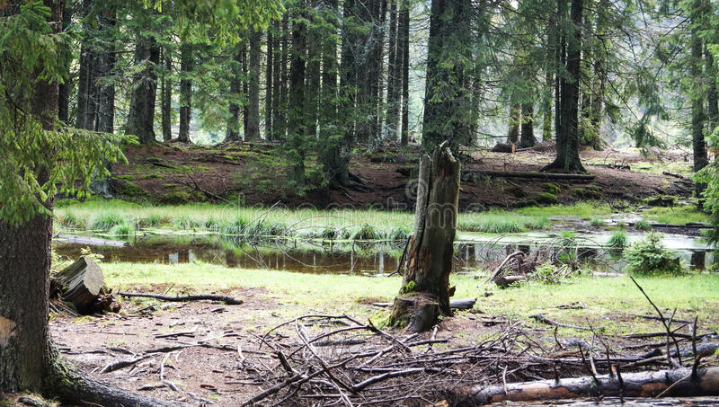 Spruce forest. Wildlife in nature royalty free stock image