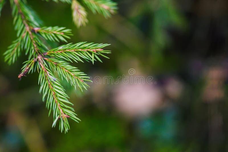 Spruce-gren Vackra grenar av gran med nålar Överenskommelse i naturen Stängning av filialer Kopiera utrymme royaltyfri bild