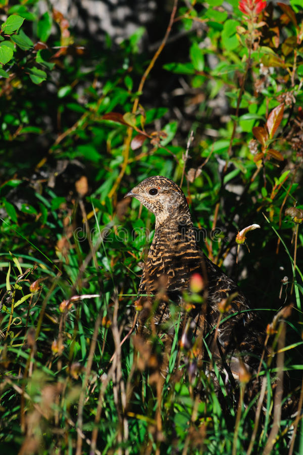 Download Spruce Grouse stock image. Image of nature, gamebird - 22015227
