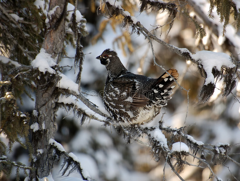 Spruce Grouse. Closeup portrait of a spruce grouse in it's natural environment royalty free stock photo