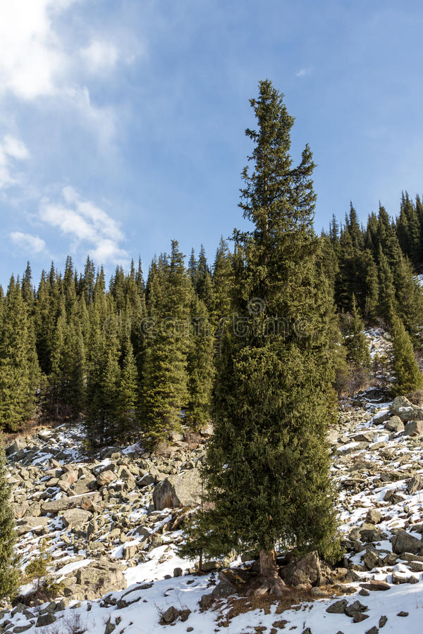 Spruce on the hillside stock photography