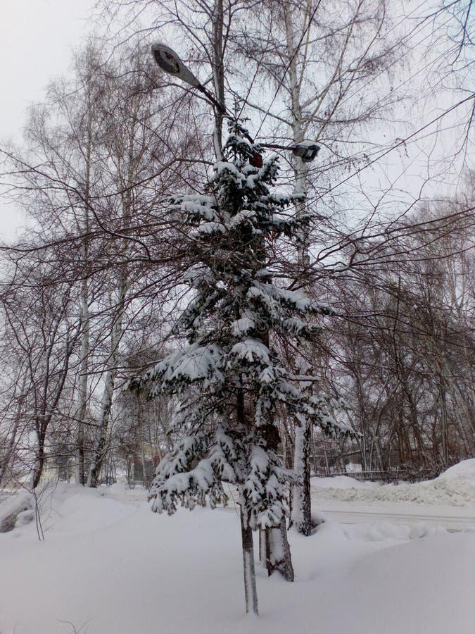 Spruce i snowen royaltyfri fotografi