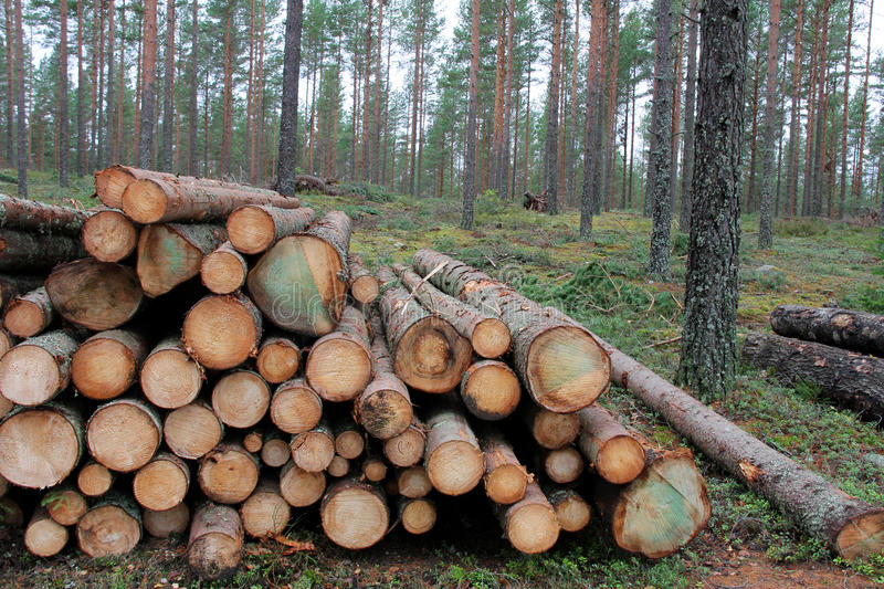 Spruce Logs in Forest royalty free stock photos