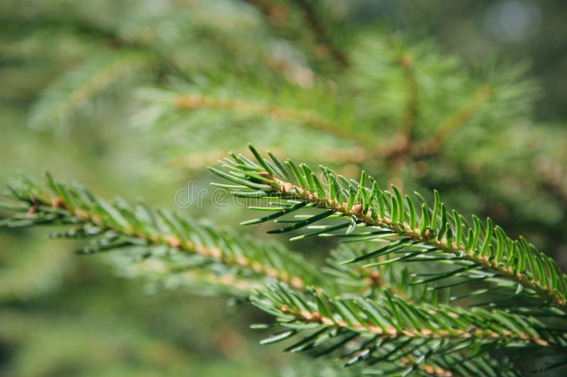 Spruce macro stock photography