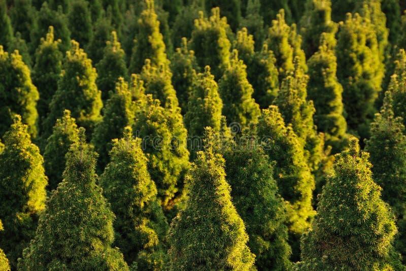 Spruce nursery stock image