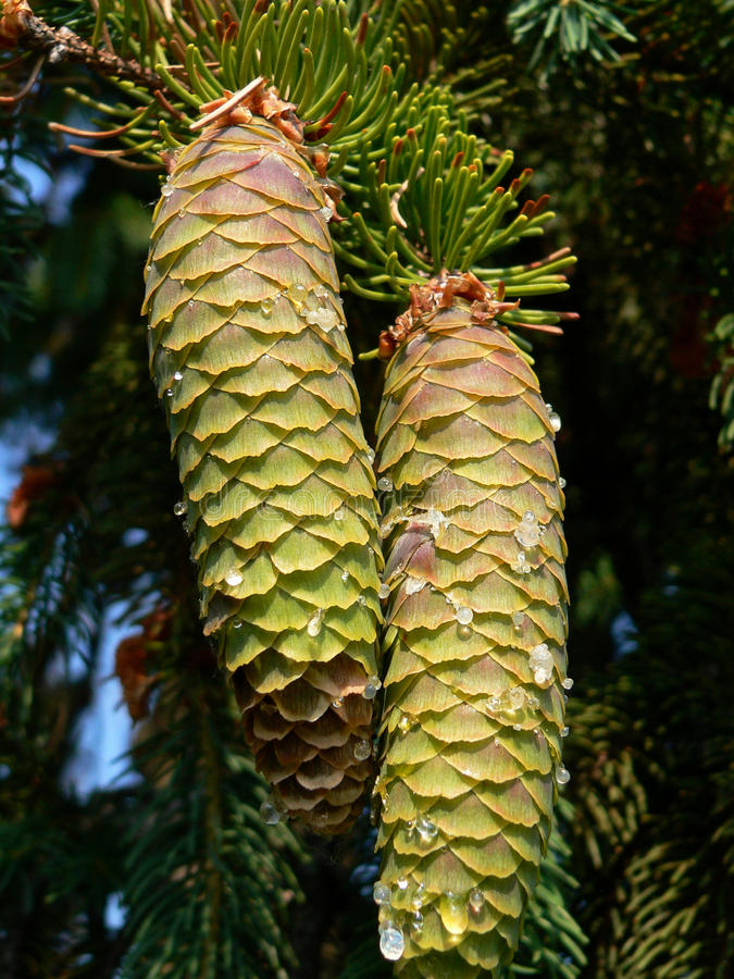 Download Spruce pine cones stock image. Image of holiday, conifer - 26987469