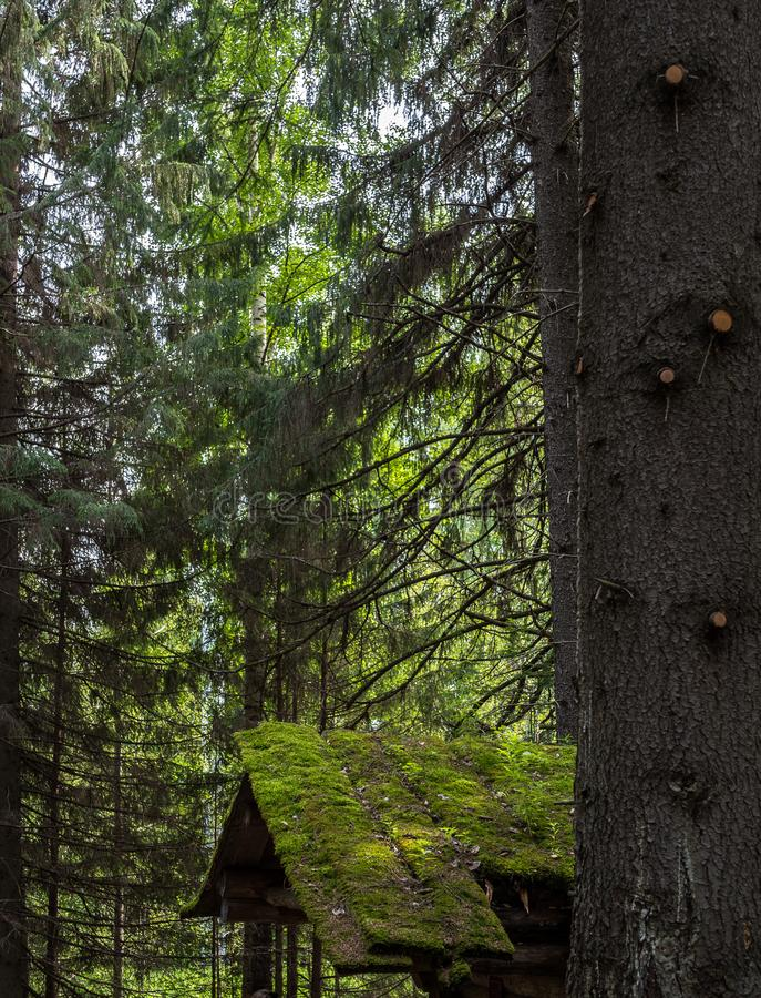 Spruce`s trunks and roof of old desolate hunting hut in summer forest. Forest landcape with part of hunting hut stock photos