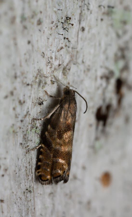 Free Spruce Seed Moth, Cydia Strobilella On Coniferous Wood Stock Photo - 148479870
