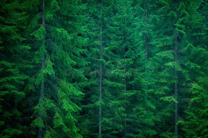 Spruce skog arkivfoto