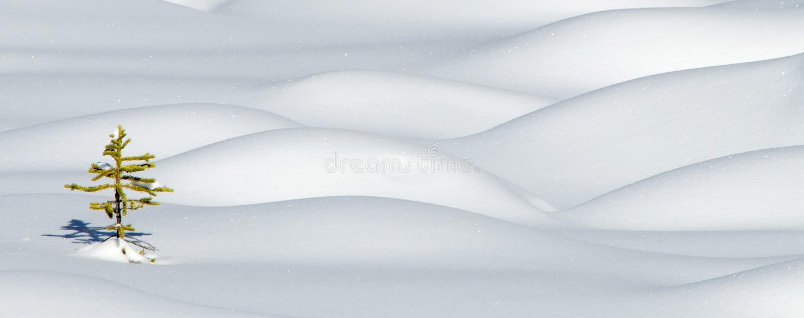 Download Spruce in snow stock photo. Image of sapling, snowy, snow - 8439690